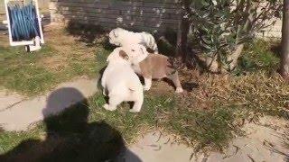 Bulldog New puppies.
