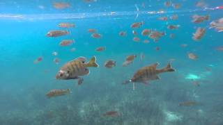 rainbow river fish at rainbow springs state park