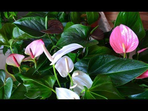 Цветы антуриума. Видео цветения 16 сортов антуриумов