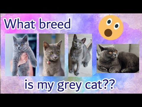 What breed is my cat?? | Different kinds of grey cats | Traits and Characteristics
