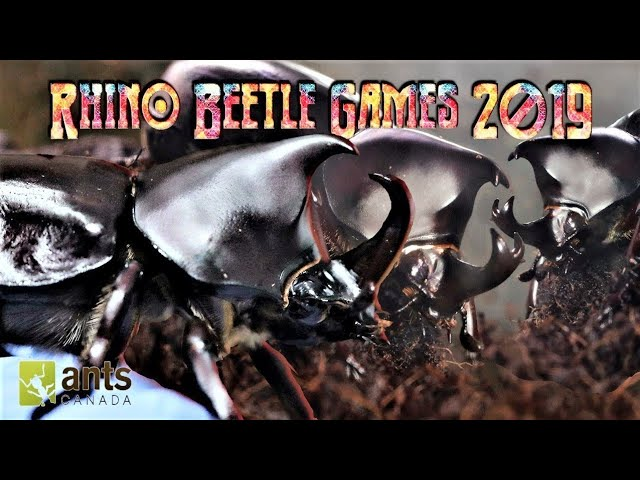 Meet The Rhino Beetle Gladiators | Rhino Beetle Games 2019