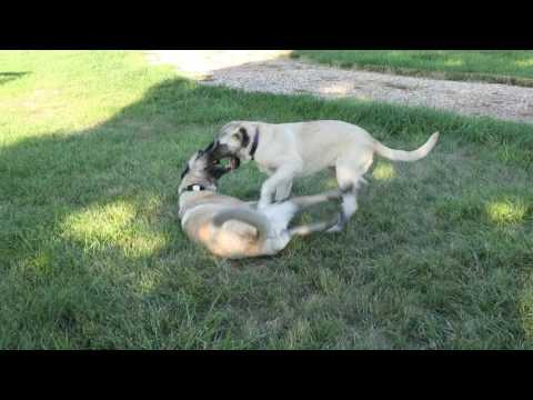 Turkish Livestock Guardian dogs at play.
