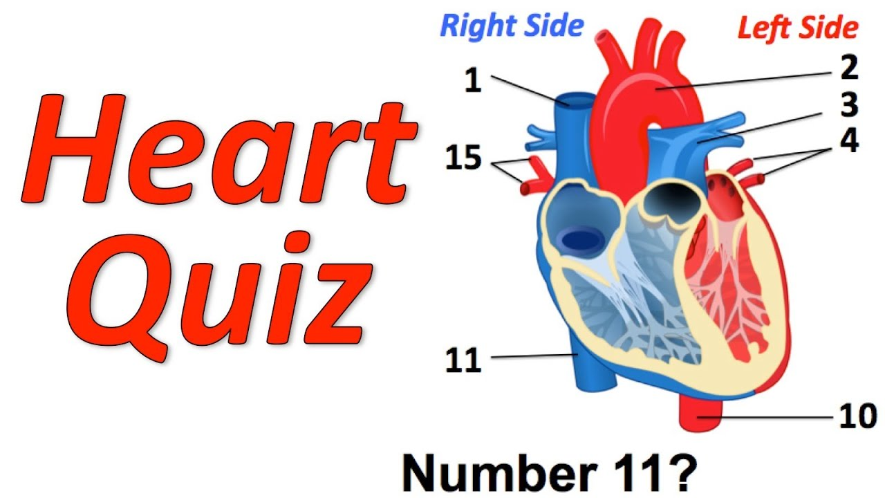 heart diagram quiz games ups connection wiring circulatory system musical youtube