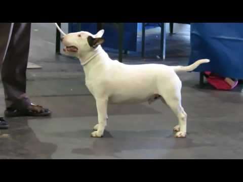 Miniature bull terriers OPEN DOG Paignton Championship Dog Show 06/08/16