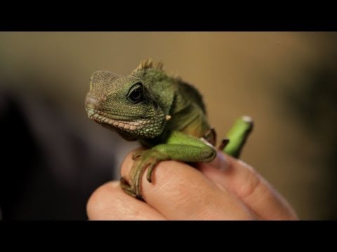 5 Care Tips for Chinese Water Dragons | Pet Reptiles
