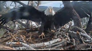 Big Bear Eagles ~ Jackie Brings in *FLUFF* Shadow Places It! Great Teamwork Moving Lumber! 12.8.19 thumbnail