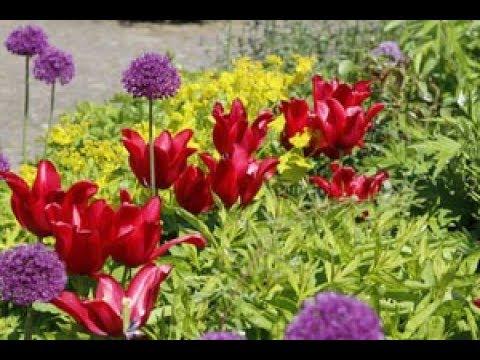 Как красиво посадить тюльпаны и нарциссы