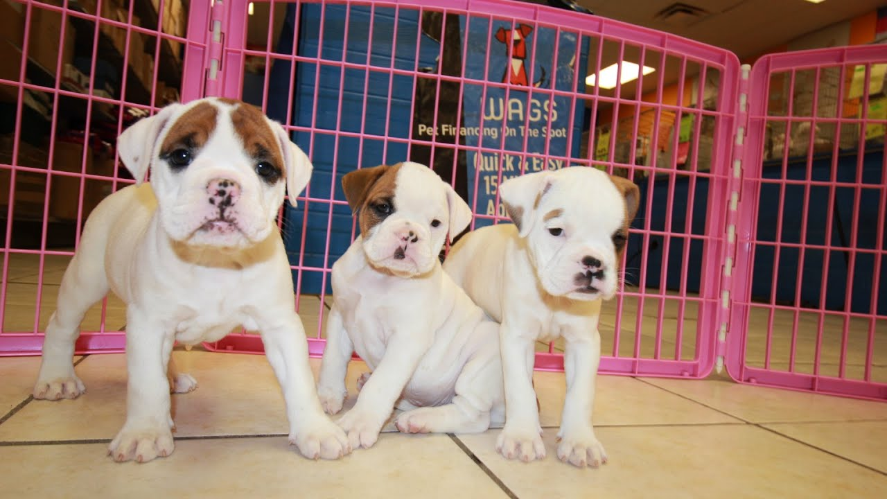 Olde English Bulldog, Puppies For Sale, In Charlotte, North Carolina, NC,  19Breeders, Greensboro
