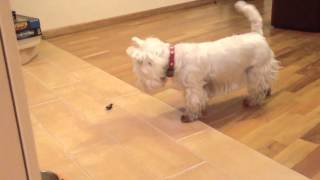 Westie Playing With Hex Bug Nano.