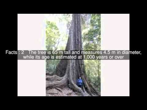 Big Tree in Chirinda Forest Top  #6 Facts