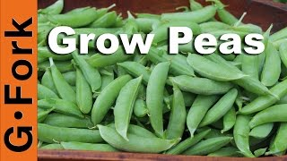Grow & Plant Peas How To - Gardenfork.tv