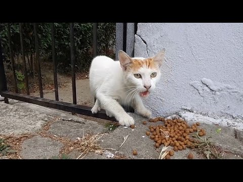 Very hungry Street Cat cute and timid. ( Cute cat videos)