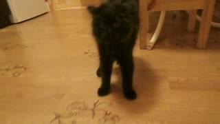 Кот шипит на воздушный шарик