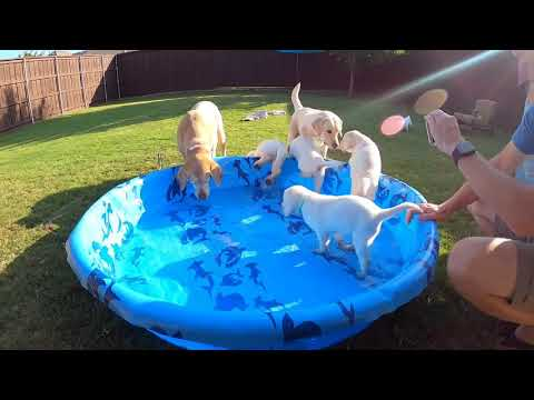LIVE STREAM Puppy Cam!  Adorable Lab Puppies Swim(ish) and Play!