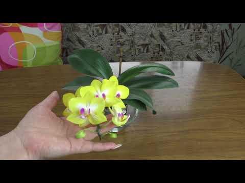 Орхидея фаленопсис Yen Shuai Sweet Girl ''Shiny Girl''