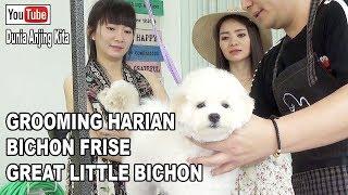 GROOMING HARIAN ANJING BICHON FRISE - GREAT LITTLE BICHON