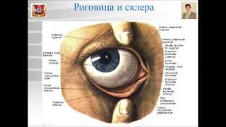 Лекция № 11. Органы чувств - 1: орган зрения. Лекция по гистологии.