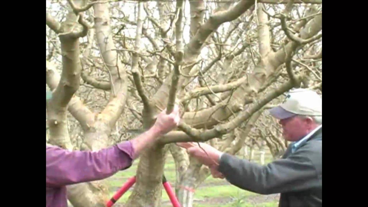 How Do I Prune Mature Pecan Tree - Pics And Galleries-3388