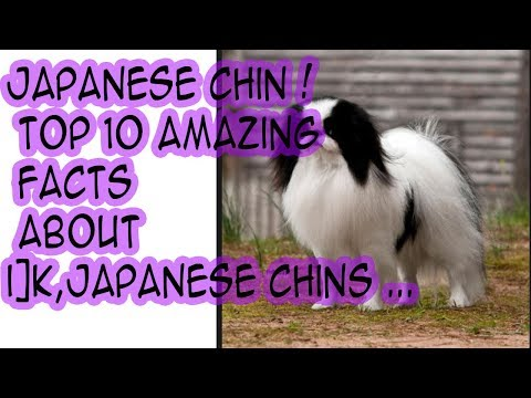 Japanese Chin - Best Bully Sticks