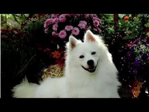 Американский эскимосский шпиц.Относится к скандинавским породам собак.Имеет ярко-белую шерсть