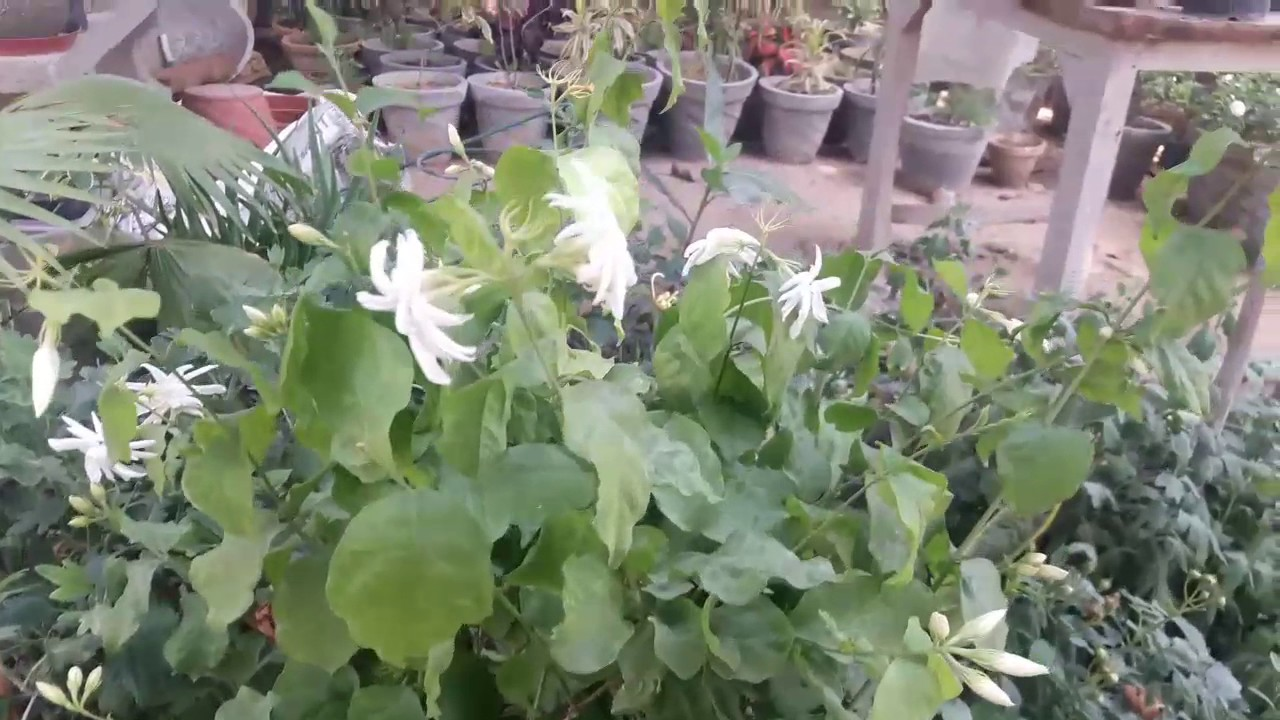 How to care jasmine flower plants mogramotiyain summer hindi how to care jasmine flower plants mogramotiyain summer hindi izmirmasajfo