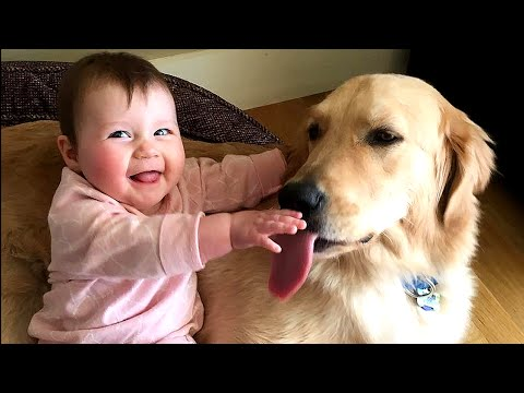 Golden Retriever Dog makes Baby laugh very happy | Dog loves Baby Compilation
