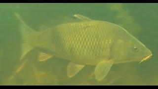 подводная охота на карпа / spearfishing for carp