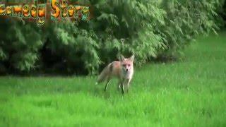 Панический крик лисы
