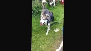 Siberian Husky Club Ni Working Pack Dog Challenge