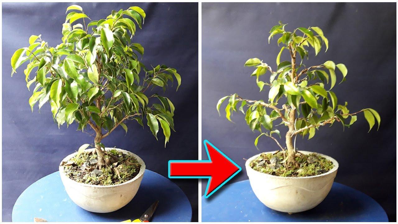 Ficus Benjamina Bonsai Pruning Wiring Be The Creator Nov 2017 Part 2 Of