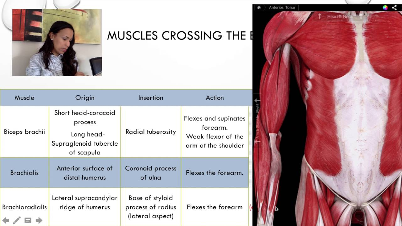 3. Muscles crossing the elbow joint - YouTube