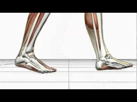 Advanced Biomechanics Overpronation Animation