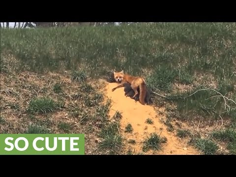 Mama fox casually nurses pups on side of road