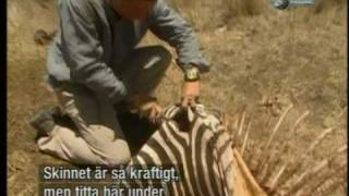 Bear Grylls eating raw zebra meat, man vs wild