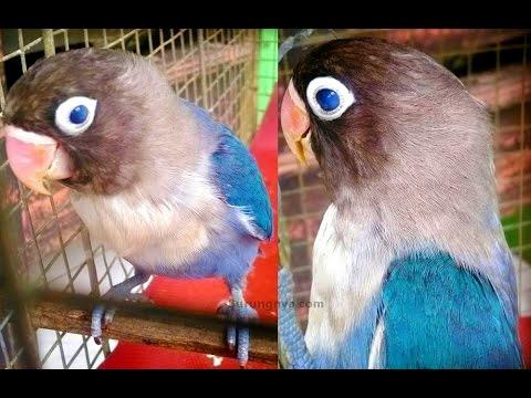 Lovebird Unik Mata dan Kaki Warna Biru (Lovebird Blue Eyes)