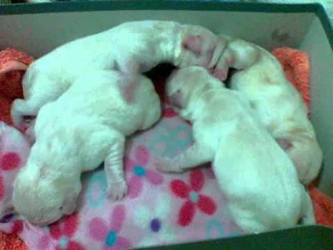 щенки лабрадора фото новорожденные