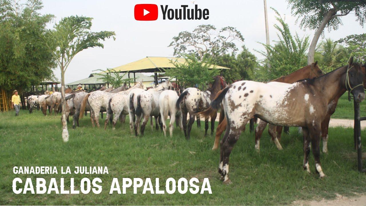 Caballos Appaloosa de la Ganadería La Juliana