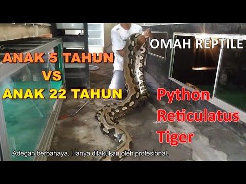 Pemindahan Ular Reticulatus Python Tiger RAKSASA ke kandang baru