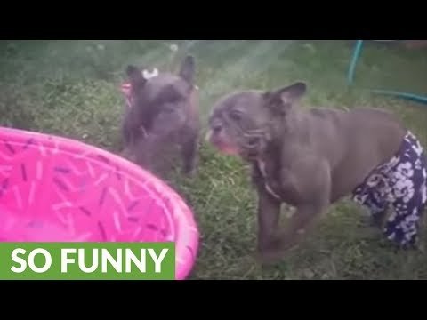 French Bulldogs in bathing suits play with water hose