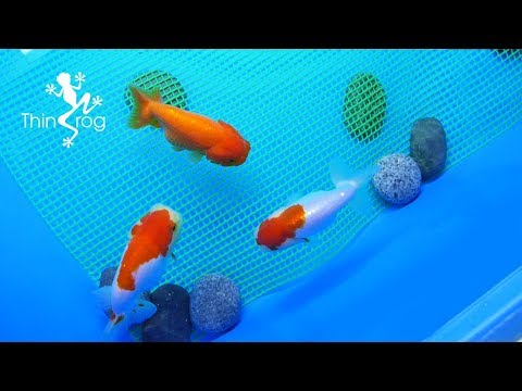 How To Breed Goldfish (Breeding Tank) (Ep.1)