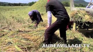 Rice Harvest Philippines