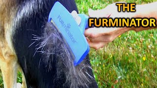 The Best Undercoat Removal    Furminator DeShedding  German Shepherd