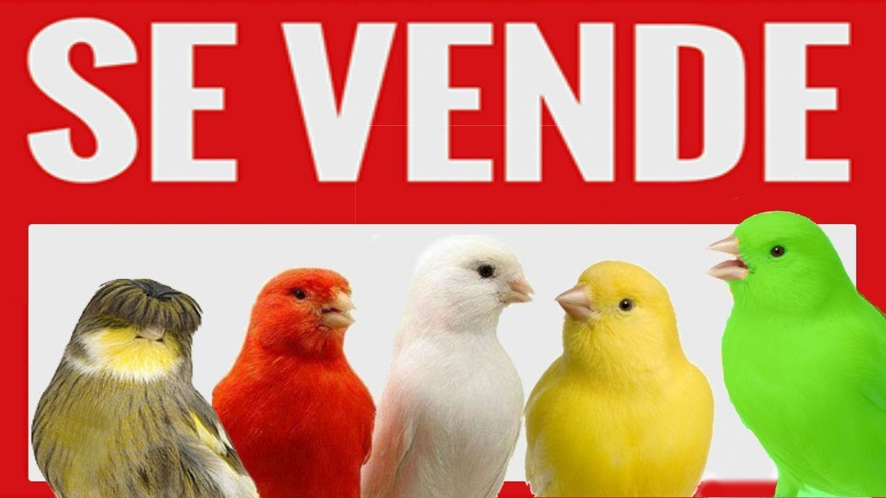 Se Venden Canarios Venta De Canarios Consejos Para Comprar Canarios Regalo Venta De Canarios Youtube