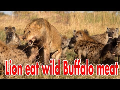Travel -  lion Safari KENYA 2016 - day 2