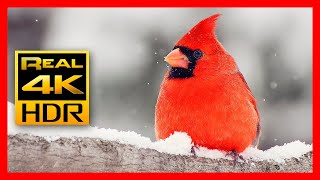 The Stunning Red Cardinal in Amazing 4K HDR - Stunning Nature with Relaxing Music & Birds Sounds