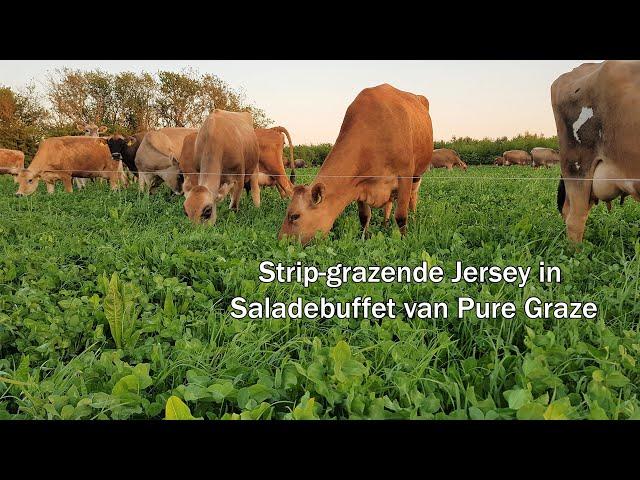 Het geluid van strip-grazende Jerseys die weiden in Saladebuffet van Pure Graze!