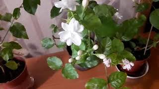 видео ЖАСМИН САМБАК | Калининские сады
