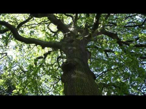 Educational videos on nature (Turkey Oak tree - April 2017)