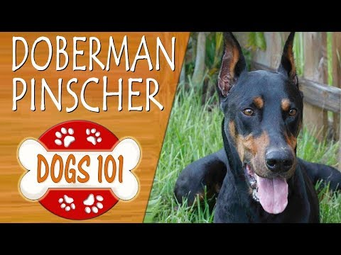 Dogs 101 - DOBERMAN PINSCHER - Top Dog Facts About the DOBERMAN PINSCHER