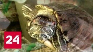 Хищные черепахи захватывают Иркутск - Россия 24